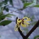 マンサク 雪の中咲く花