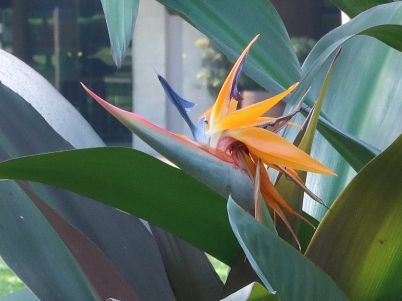 Bird of paradise/ ゴクラクチョウカ