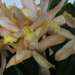 カトレア交雑種 Ctt. Pure Yellow