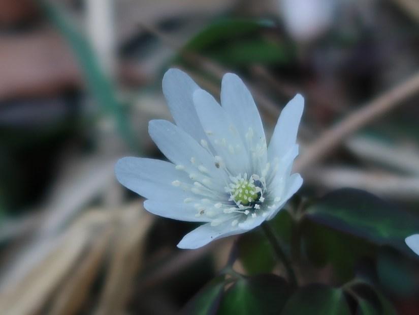 Anemone raddeana/ アズマイチゲ