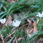 アズマイチゲ 花の咲く草の姿