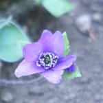 ミスミソウ 紫の花