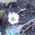 ミスミソウ 淡いピンクの花