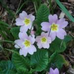 プリムローズ ピンクの花