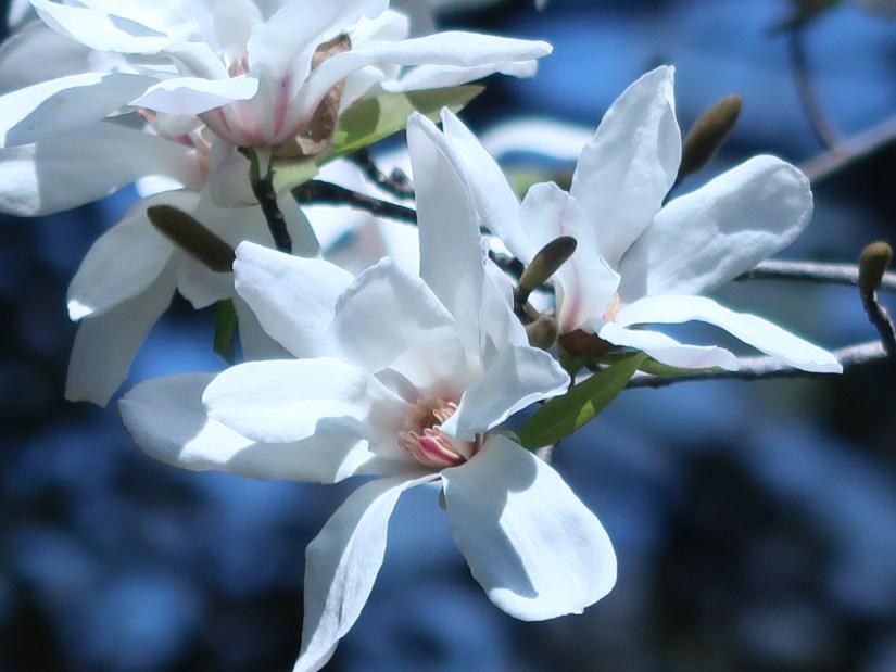 Star Magnolia/ シデコブシ