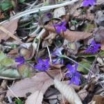 ミスミソウ 青紫の花