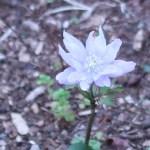 キクザキイチゲ 花の姿