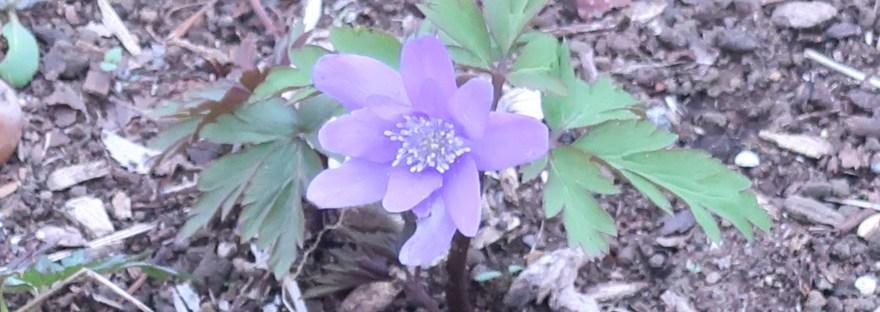 Anemone pseudoaltaica/ キクザキイチゲ
