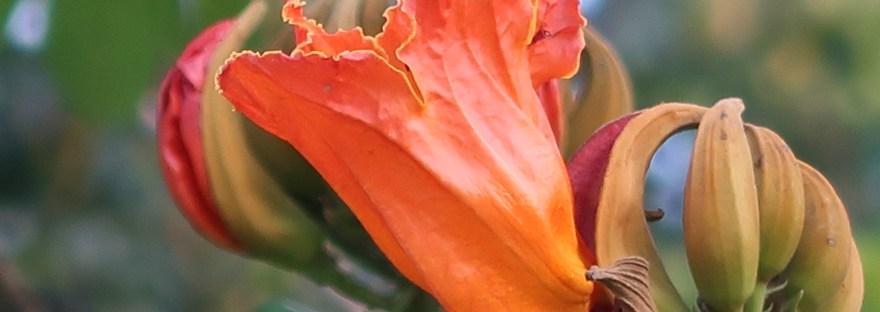 African tulip/ カエンボク
