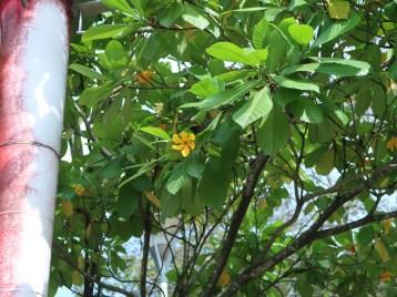 キバナクチナシ 花の咲いている様子