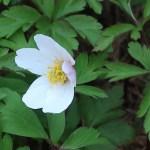 ヤブイチゲ 花のアップ