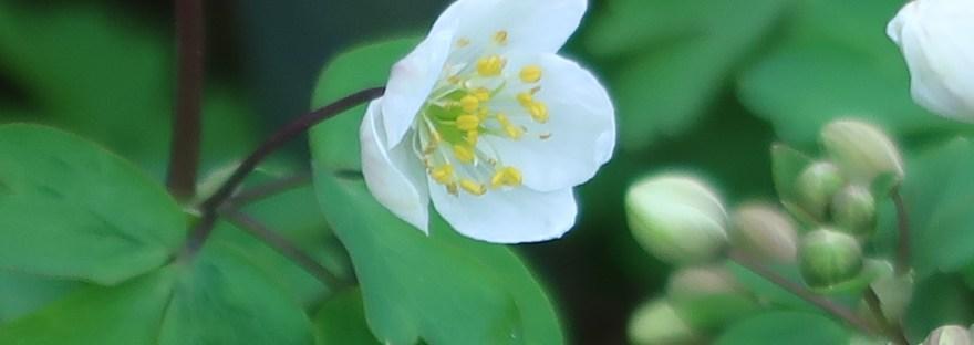 Wood anemone/ ヤブイチゲ