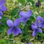 Sweet violet/ ニオイスミレ