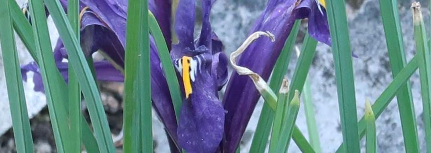 Netted iris/ アイリス・レティキュラータ
