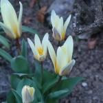 カウフマニアーナチューリップ 花の姿