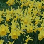 スイセン 黄色の花のスイセン