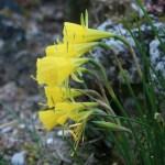 ナルキッスス・バルボコディウム 花の様子