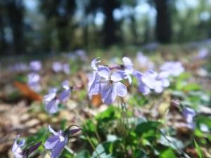 タチツボスミレ 日を浴びて咲く花の姿