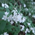 ヒメウツギ 群れて咲く白い花