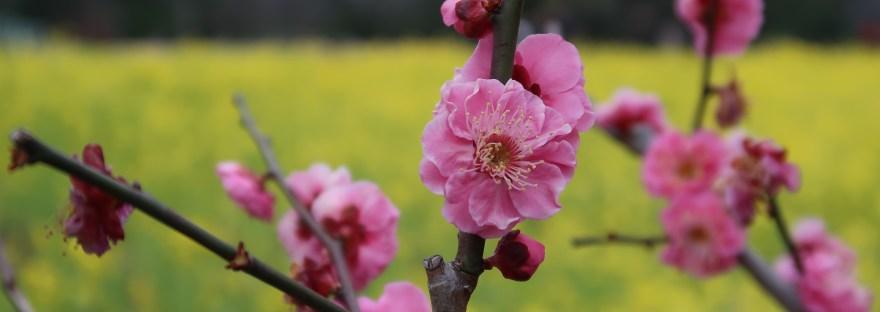 Japanese apricot/ ウメ