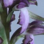 ヒマントグロッサム Himantoglossum robertianum