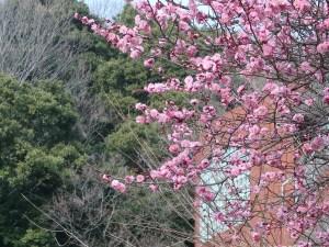 ウメ 満開のピンクの梅