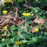 ヒメリュウキンカ 花の姿