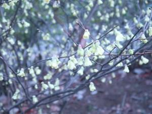 ヒュウガミズキ 花の咲いている様子