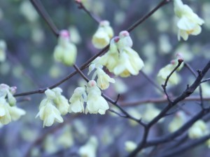 Buttercup winter-hazel/ ヒュウガミズキ