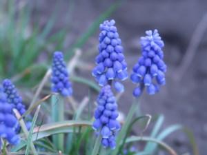ムスカリ 花の姿