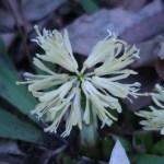 シロバナショウジョウバカマ 花のアップ