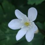 ニリンソウ 花のアップ