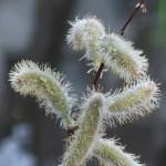 ネコヤナギ 花の様子