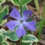 ツルニチニチソウ 花の姿