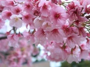 Cherry var. Oh-kanzakura/ オオカンザクラ