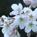 ソメイヨシノ 3分咲き 花の様子