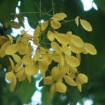 ゴールデンシャワー 花のアップ