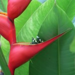Heliconia bihai 花のアップ