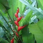 Heliconia bihai 花の様子