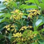 コウシュンカズラ 花の咲いている様子