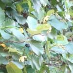 キバナビワモドキ 花の咲いている様子