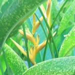 Heliconia caribaea 花の様子