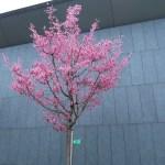 オカメザクラ 花の咲いている木の様子