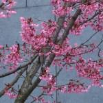 オカメザクラ 花の咲いている様子