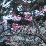 サクラ アーコレード 花の咲いている様子