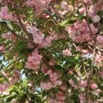 セキヤマ 関山 花の咲いている様子
