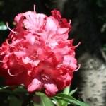 シャクナゲ 花の様子