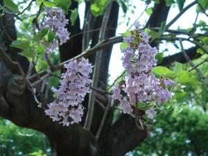 キリ 花の咲いている様子