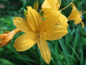 ムサシノキスゲ(ゼンテイカ) 花のアップ