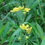 キンポウゲ ウマノアシガタ 花の姿